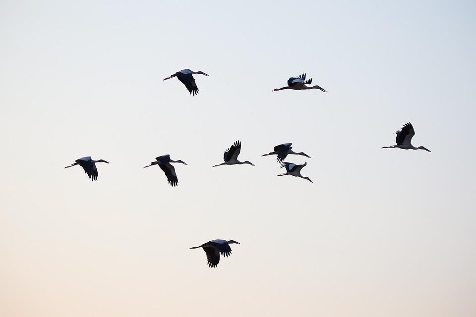 Birds, Asian Openbill, Vole, Bittern, White