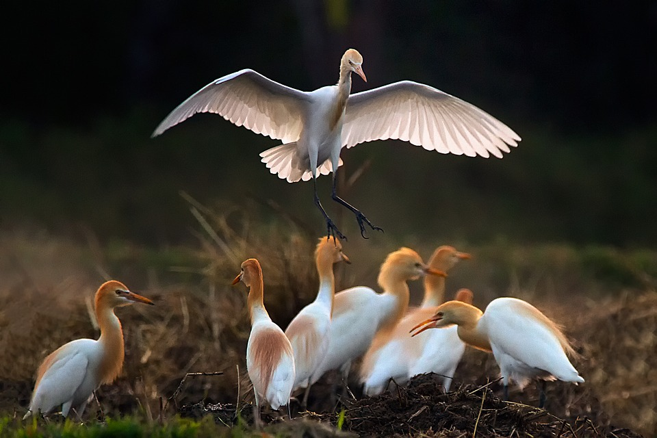 Birds, Asian Openbill, Vole, Bittern, White