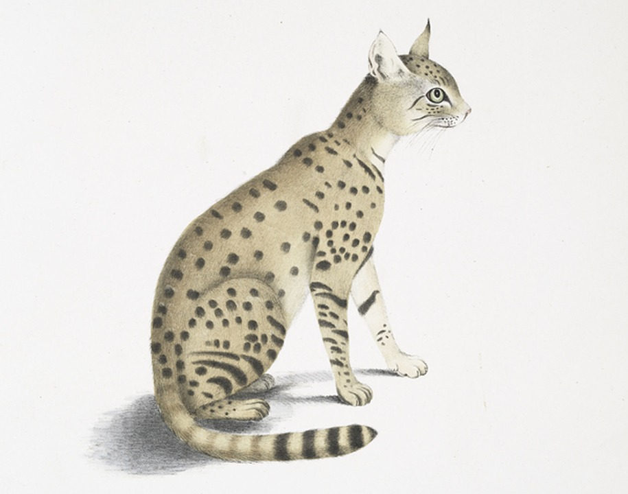 Asiatic Wildcat, Felis Ornata, Asian Steppe Wildcat