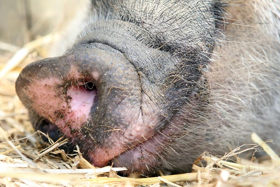 Animal, Asleep, Bacon, Big, Black, Boar, Clean, Cute