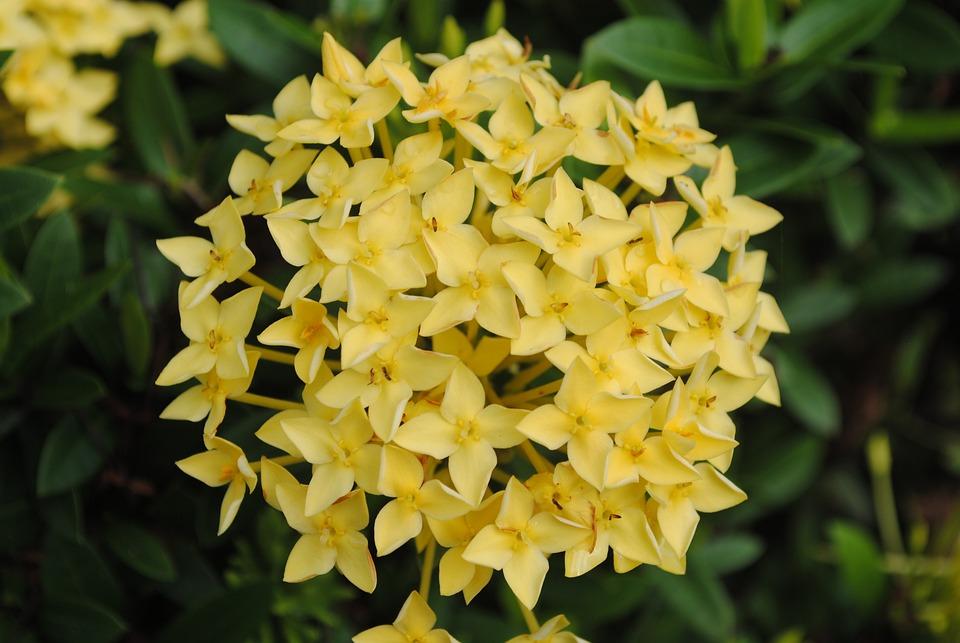Asoca, Flowers, Garden, Yellow Flowers, Petals