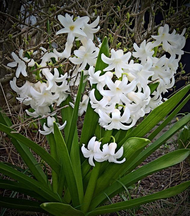 Plant, Hyacinth, Flower, White Flowers, Asparagus Plant
