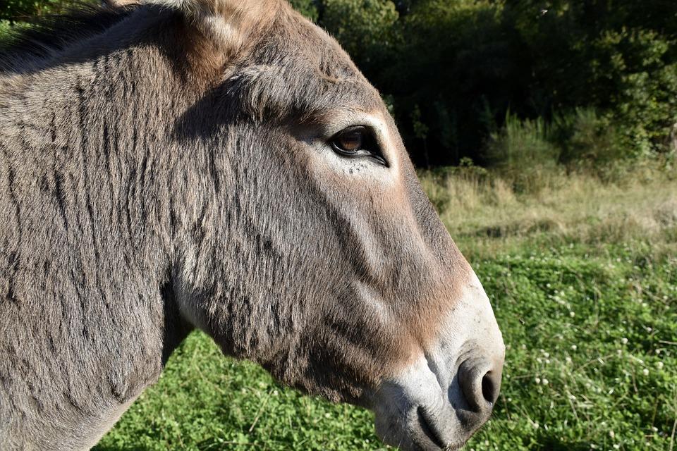 Donkey, Ass, Animal, Equine, Mammal, Animal Portrait
