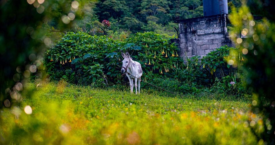 Ass, Donkey, Animal, Nature, Farm, Ears, Field
