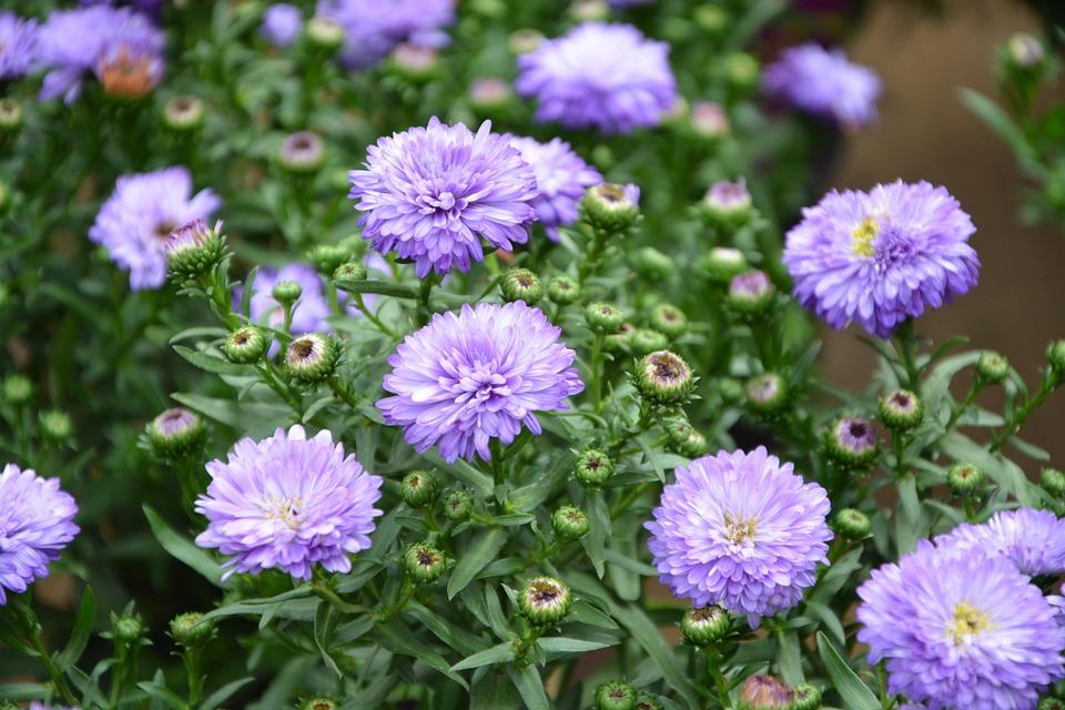 Free photo aster blue purple flowers flowering flowers plants max flowers aster blue plants purple flowers flowering mightylinksfo