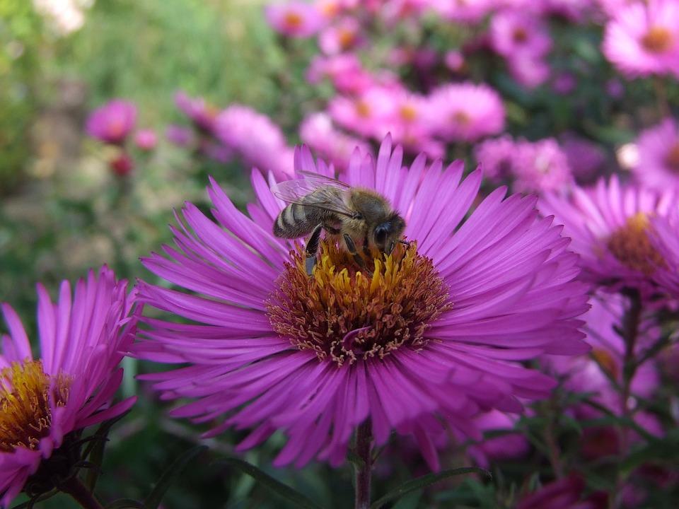 Aster, Bee, Herbstaster, Flower