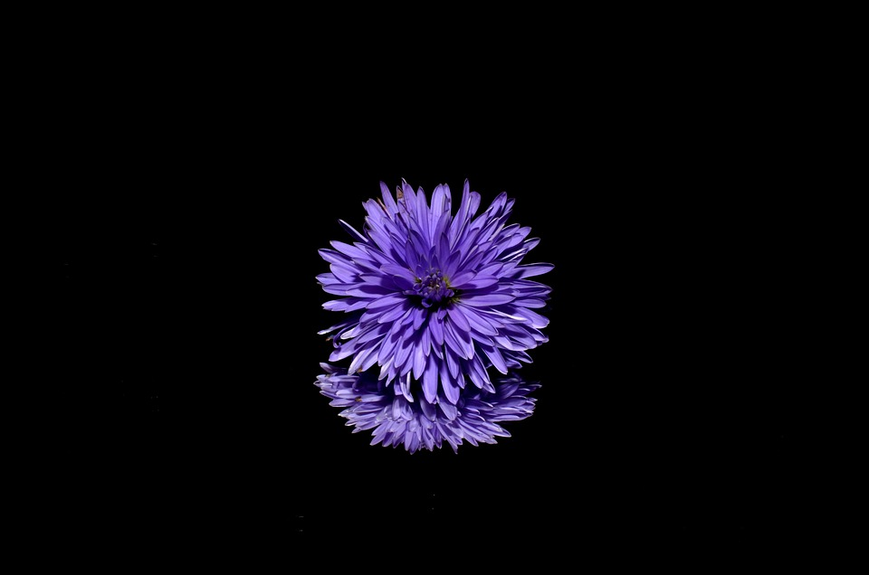 Aster, Flower, Purple, Blossom, Isolated