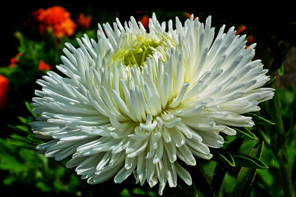 Aster, Flower, White, Garden, Summer, The Petals