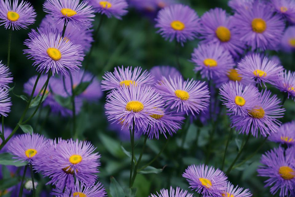 Asters, Aster Tongolensis, Violet, Purple, Flowers