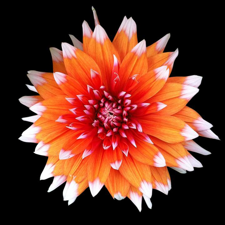 Flower, Orange, Luisa, Asteraceae, Petal, Garden