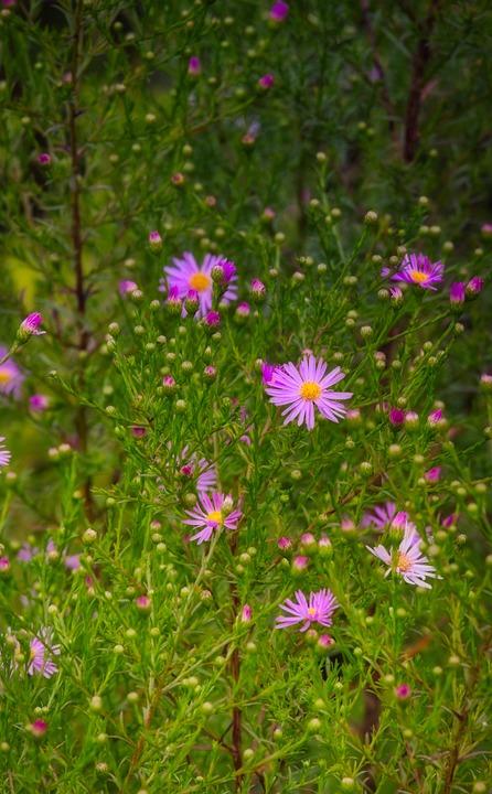 Asters, Pink, Flower, Composites, Herbstastern, Autumn