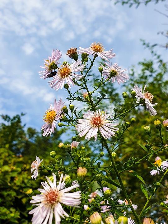 Daisies, Flowers, Bloom, Asters, Blossom, Herbstaster