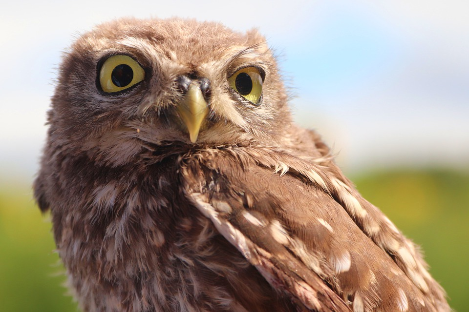 Owl, Athene Noctua, Bird Of Prey, Little Owl, Owl Style