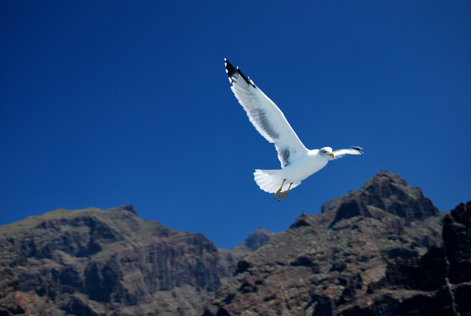 Atlantic, Canary, Cliff, Flock, Fly, Flying, Gigantes