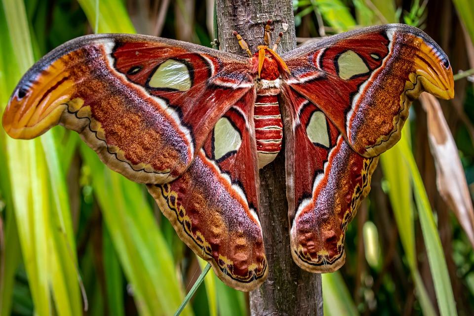 Atlas Moth, Butterfly, The Greatest, Attacus Atlas