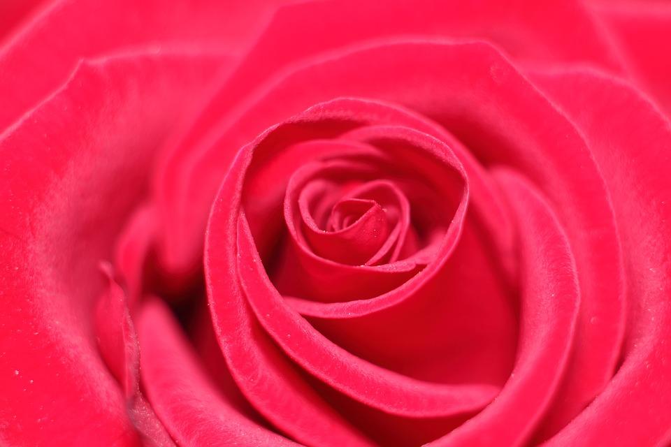 Rose, Love Scam, Love, Attachment
