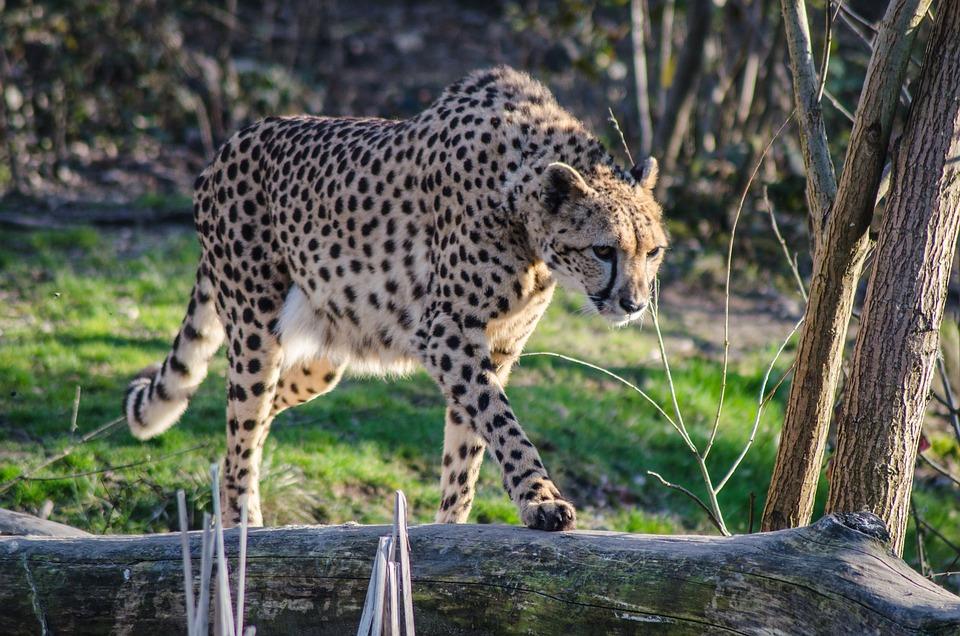Cheetah, Zoo, Italy, Nature, Felines, Feline, Attack