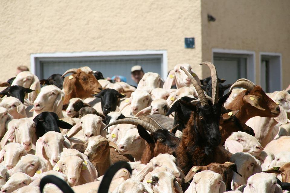 Lamb Buoyancy, Sheep, Goat, Ovis, Capra, Attack, Horns