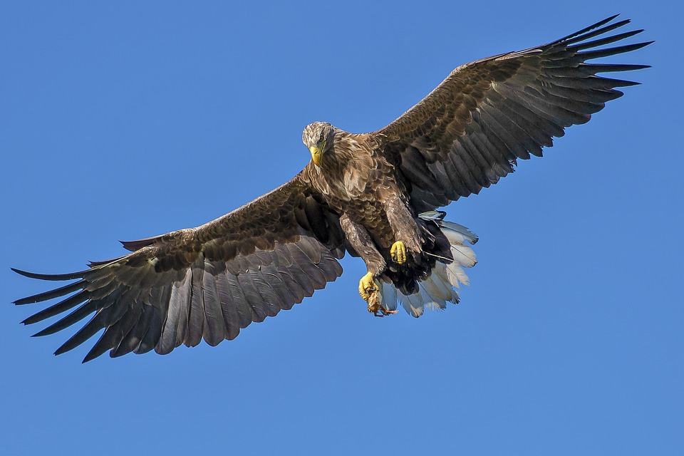 Eagle, Bird, Bird Of Prey, Natural, Attacking Bird