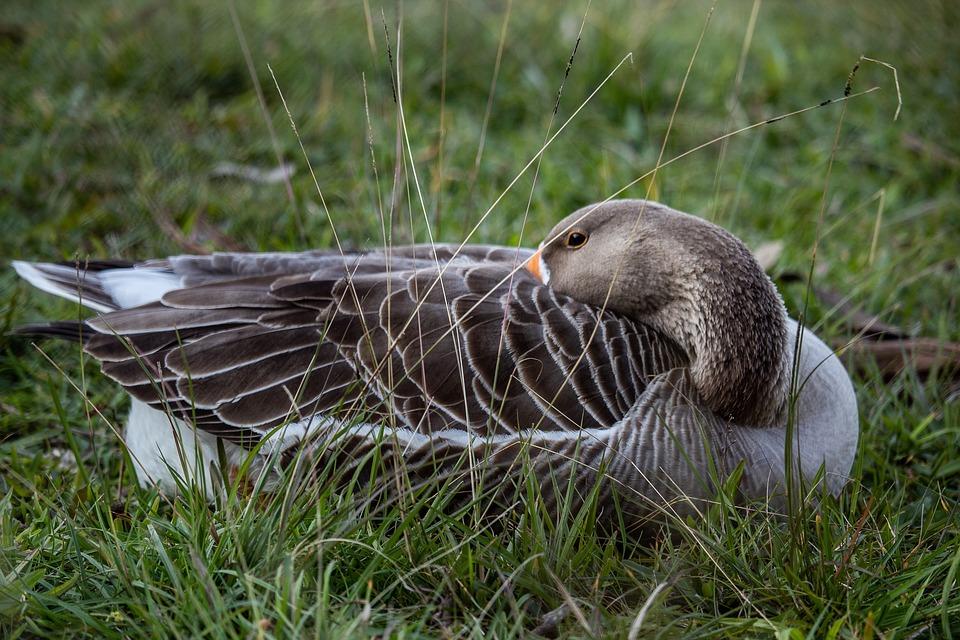 Duck, Goose, Animal, Nature, Bird, Creature, Attention
