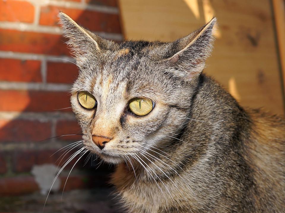 Cat, Domestic Cat, Pet, Dear, Attention, Pride, Mieze