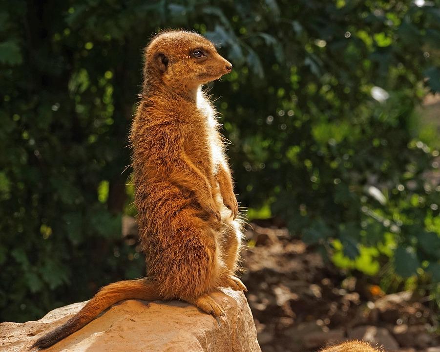 Meerkat, Guards, Attention, Keep Watch, Keep An Eye Out