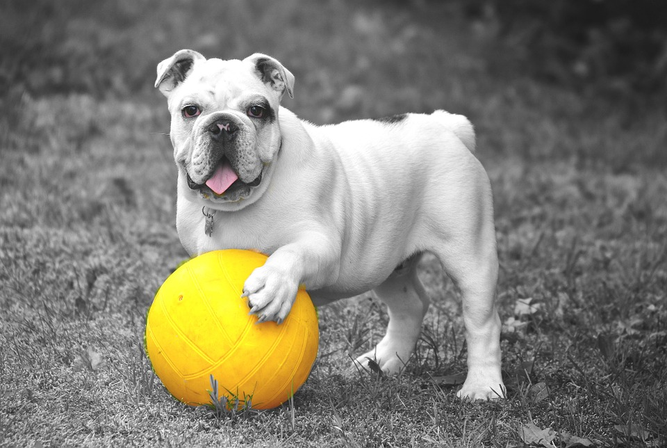 Bulldog, Dog, Animal, Pet, Play, Playful, Attention
