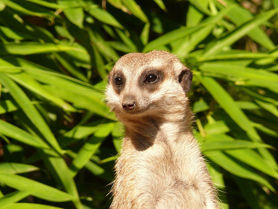 Meerkat, Nager, Nature, Attention, Watch, Guard, View