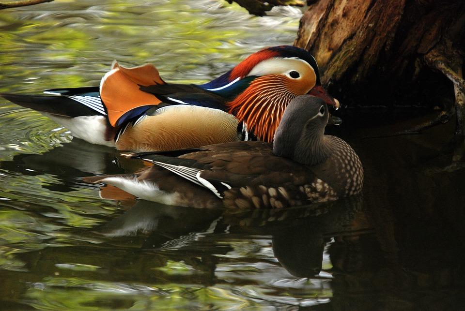 Mandarin, Duck, Exotic, Bird, Colorful, Attractive