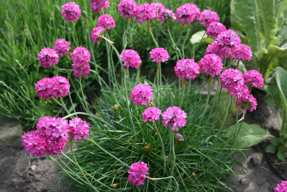 Flowers, Pink, Purple, Sea, Thrift, Clump, Attractive