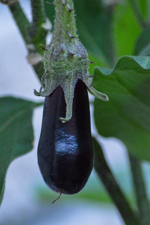 Eggplant, Vegetables, Aubergine, Agriculture, Harvest