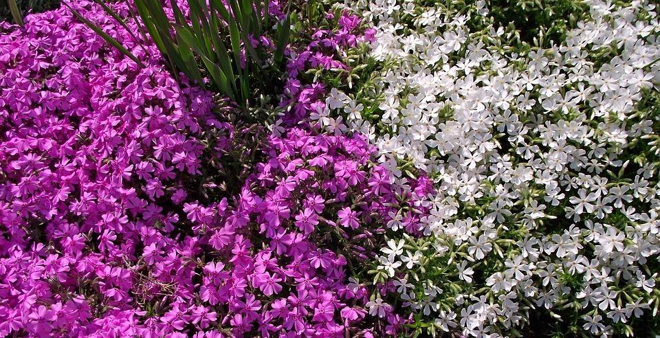 Flower, Plant, Aubrieta Deltoidea, Nature, Garden