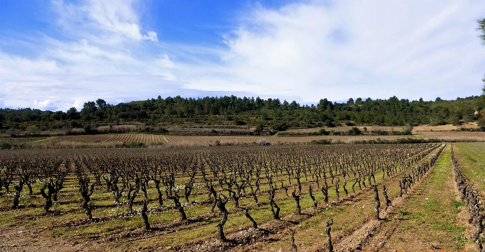 Nature, France, Aude, Agro-industry, Vineyard, Outdoor