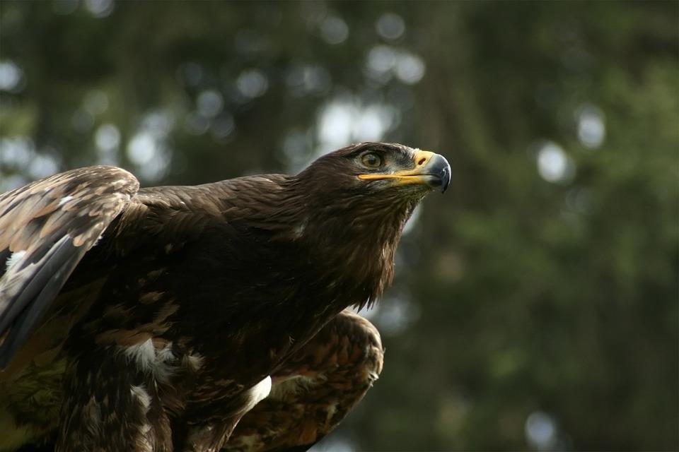 Eagle Eye, Adler, Bill, Raptor, Ausschau, Bird