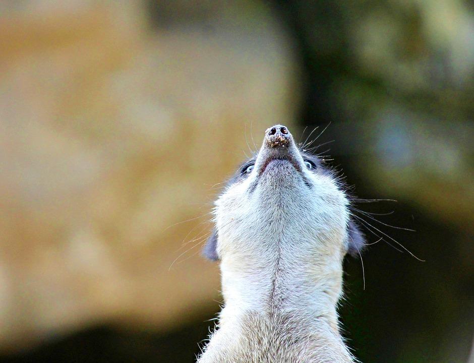 Meerkat, Mongoose, Ausschau, Zoo, Funny, Watch, Mammal