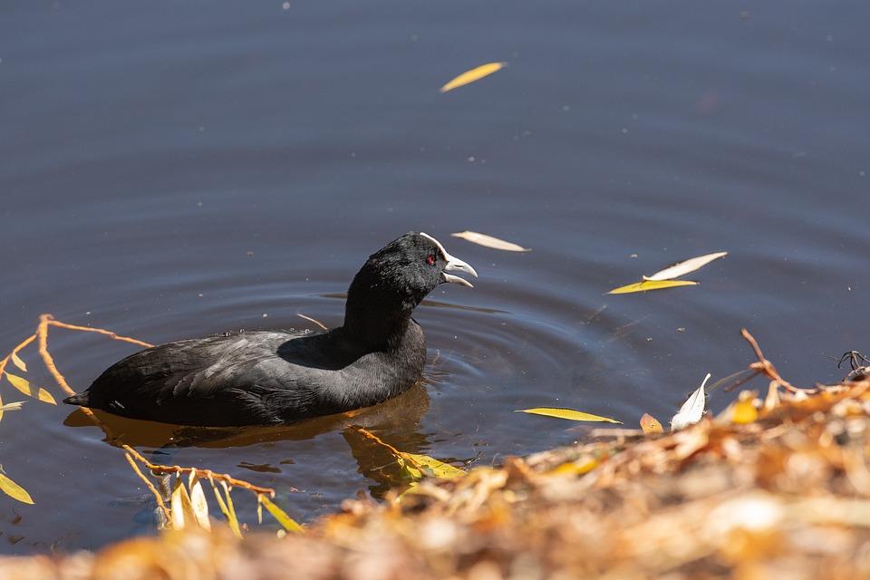 Coot, Bird, Lake, Australasian Coot, Eurasian Coot