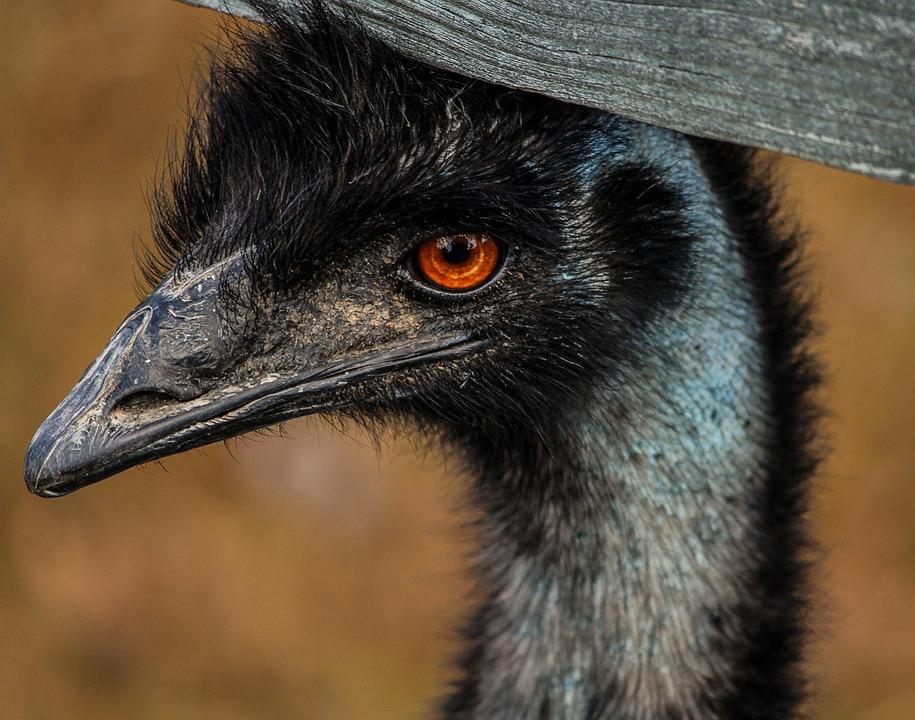 Emu, Large Bird, Bird, Australia, Flightless, Wings