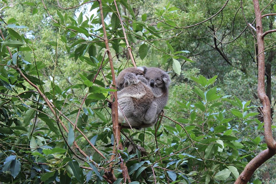 Koala, Australia, Animals