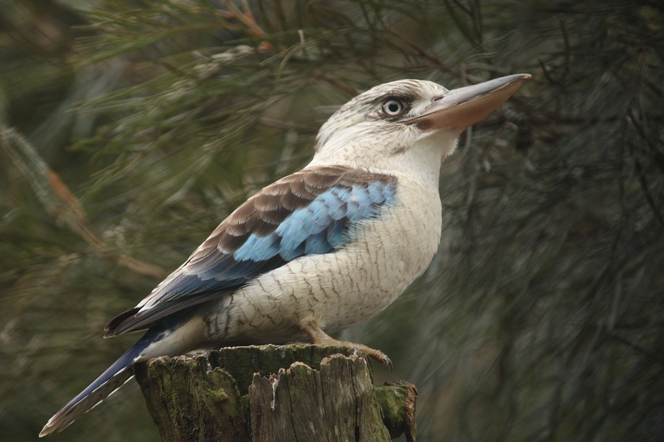 Kookaburra, Bird, Australia, Nature, Wild, Native