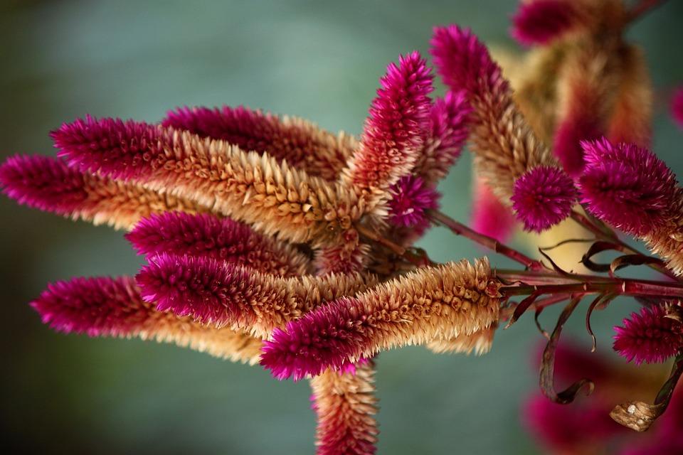 Pink, Flowers, Wild, Native, Nature, Australia