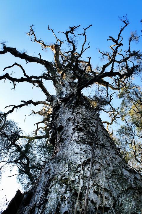 Paperbark, Tree, Australia, Melaleuca, Natural, Trunk