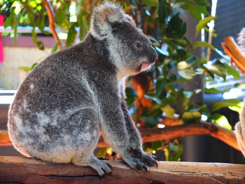 Free Photo Australia Pet Cute Koala Animal Small Baby Zoo Max Pixel
