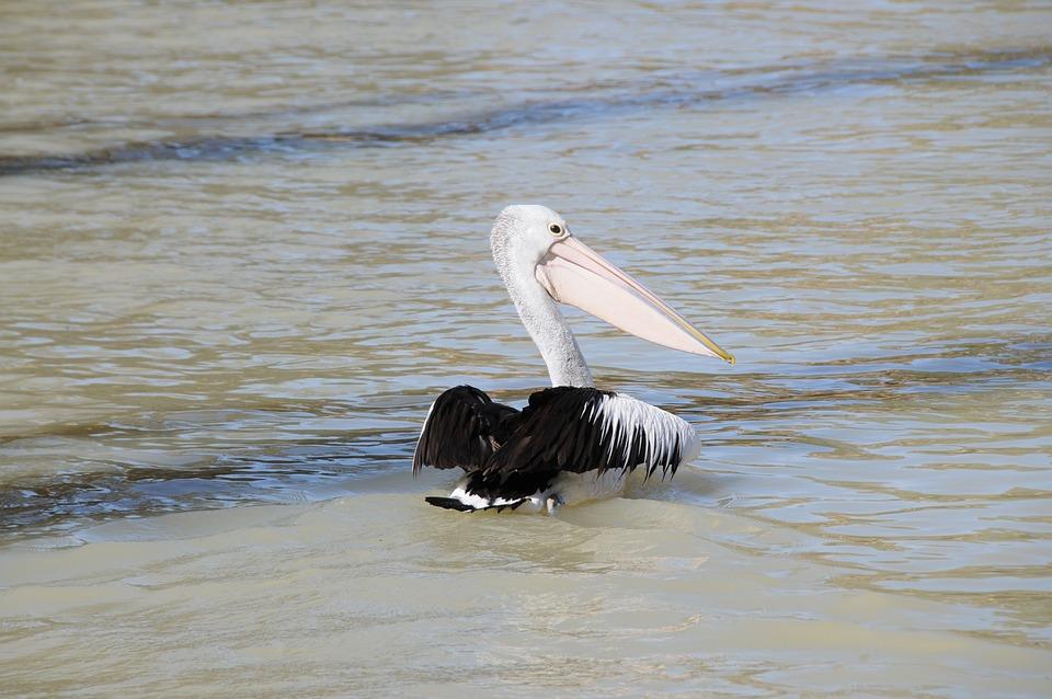 Pelican, Bird, Water, Nature, Wildlife, Australia, Beak