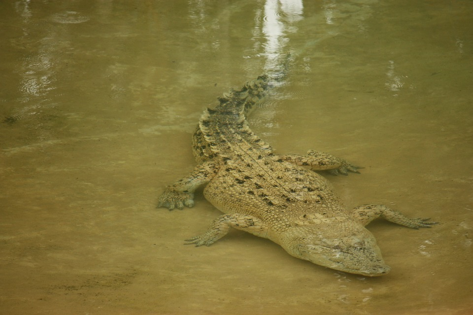 Crocodile, Wild, Native, Water, Underwater, Australia