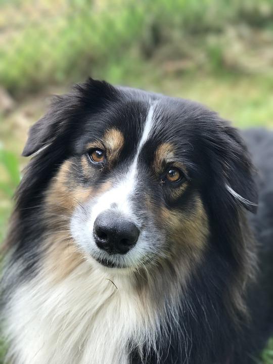 Australian, Shepherd, Portrait, Beauty, Dog
