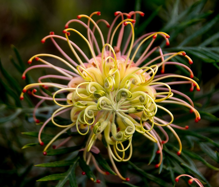 Grevillea, Flower, Australian, Native, Pink, Yellow
