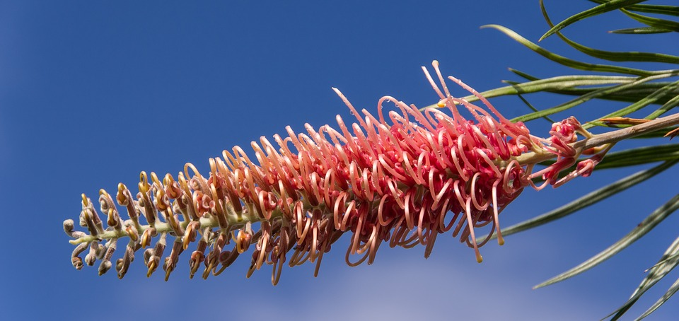 Grevillea, Flower, Australian, Native, Pink, Red