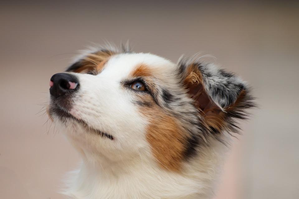 Dog, Puppy, Australian Shepherd, Small, Charming
