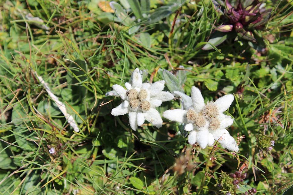 Edelweiss, Austria, Wild Flower