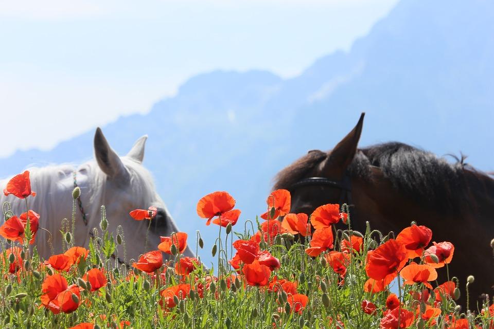 Horses, Poppy, Austria, Unterberg